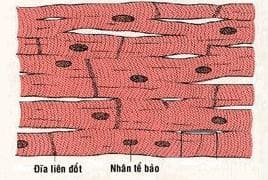 Cấu tạo sợi cơ tim